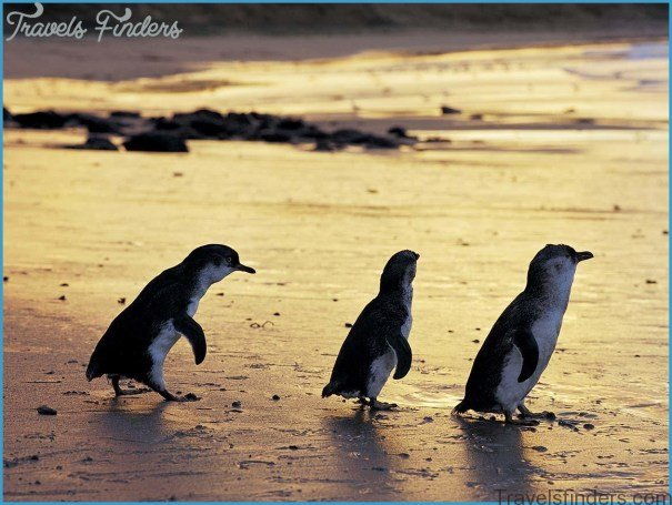 Melbourne  Phillip Island Little Penguins Parade_3.jpg