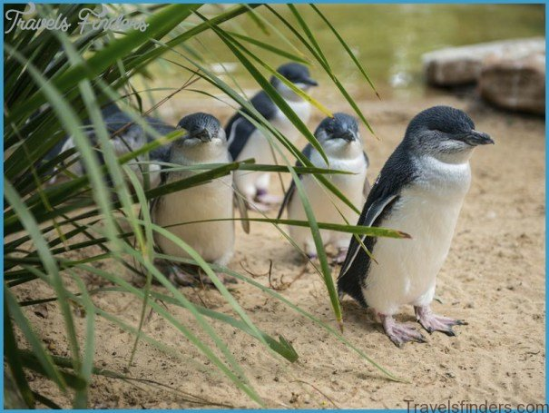 Melbourne  Phillip Island Little Penguins Parade_4.jpg
