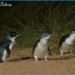 Melbourne  Phillip Island Little Penguins Parade_6.jpg