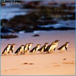 Melbourne  Phillip Island Little Penguins Parade_8.jpg