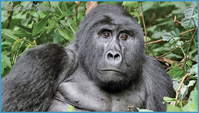 African Travel packages offer mountain gorilla treks in Rwanda ...
