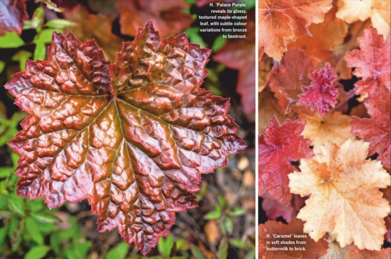 painted by nature with their vibrant and varied leaves heucheras extend colour in borders throughout autumn and beyond